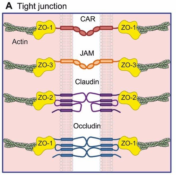 از دست دادن پروتئین هایی در اتصالات محکم می تواند موجب سرطان معده شود